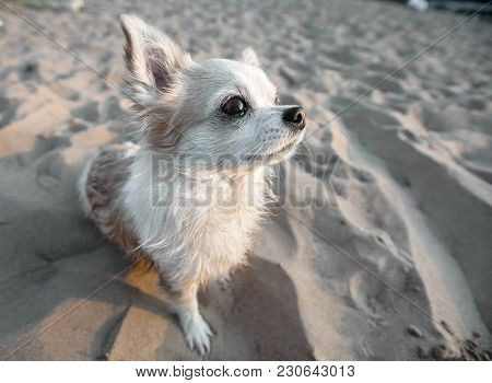 Chihuahua Dog Close-up On Beach Sand Background At Sunset
