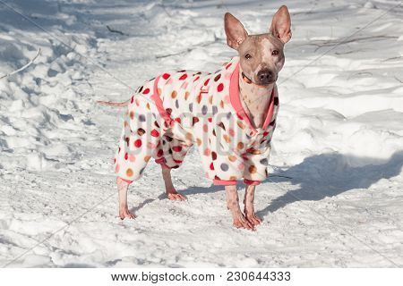 Cute American Hairless Terrier In Beautiful Suit Is Standing On A White Snow. Pet Animals. Sunny Win