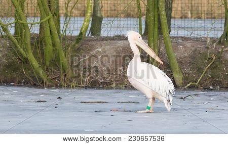 Pelican Standing On Ice