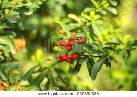 Bunch Of Ripe Rowanberry Fruit On Rowan Tree With Green Leaves. Close Up Shot.