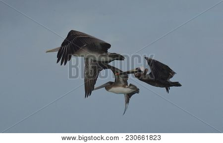 Three Brown Pelicans Flying Together In The Sky.