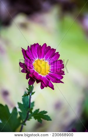 A Violet Flower Alone At My Garden