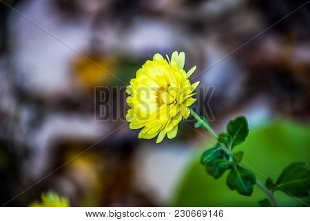 A Yellow Flower Alone At My Garden