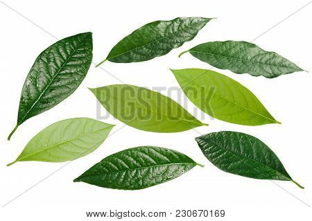 Avocado Persea Americana Leaves, Paths