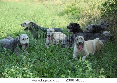 Irish Wolfhounds Resting Together In Shadow