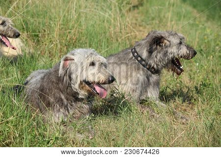 Irish Wolfhounds Resting Together