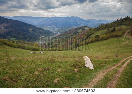 Herding Dogs In A Pasture In The Mountains. Carpathians