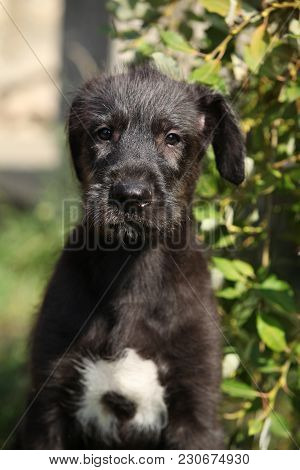 Portrait Of Amazing Irish Wolfhound Puppy