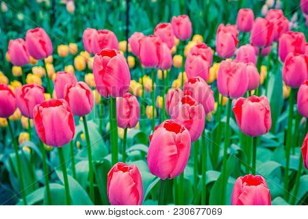 Have Gorgeous Blooms With Colors That Include Pink, Yellow Flowers. To Gaze Upon A Beautiful, Bright
