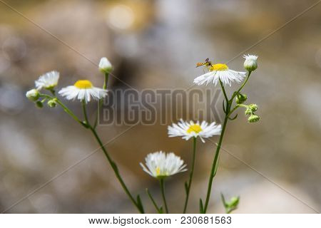 A Lot Of Daisies On A Green Background. Sunny Daisies. Small Daisies. Summer Flowers. Chamomile Fiel