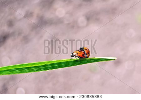 Two Ladybirds In The Process Of Reproduction On A Green Leaf On The Background Of The Soil