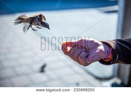 Hand Feeding A Sparrow In Wanaka, New Zealand