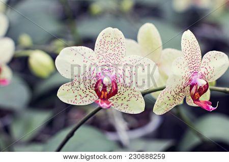 Beautiful White-pink Orchid Orchid, Beauty, Beautifu Decoration