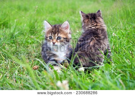 Two  Little Furry Kitten Playing In Spring Meadow. Kitten On Green Grass, Healthy Lifestyle.