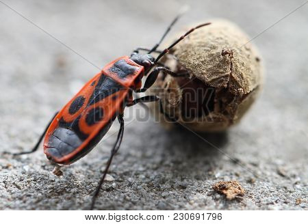 Firebug, Pyrrhocoris Apterus, A Common Insect Of The Family Pyrrhocoridae, Rolling Mallow Seed, Agai