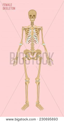 Female Skeleton Image. Vector Illustration Isolated On A Pink Background Useful For Creating Medical