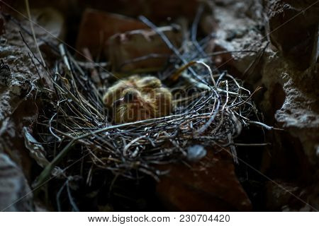 Little Chicks In The Nest In The Attic