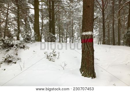 Winter Pine Forest. Wood With A Mark For Cutting