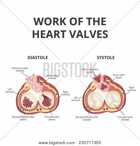 The Work Of Heart Valves, Anatomy Of The Human Heart, The Heart In A Section View From Above