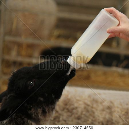 A Baby Lamb Being Fed Milk From A Plastic Bottle.