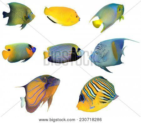 Collection Angelfish fish isolated on white background. Koran, Three-spot, Queen, Yellowmask, Emperor, Arabian, Blue-ringed and Regal Angelfish