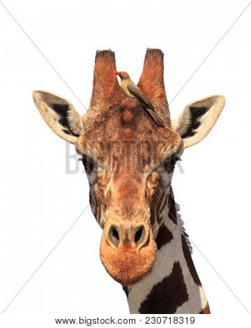 Giraffe portrait with oxpecker bird isolated on white background