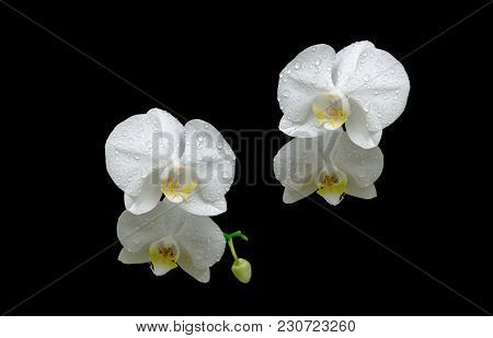 Flowers Of White Orchids In The Dew Drops On Black Background. Horizontal Photo.
