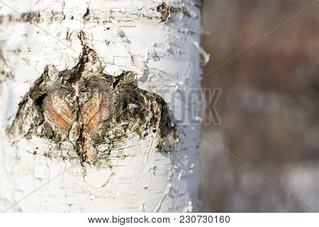 White Paper Birch Tree Bark Close-up Image