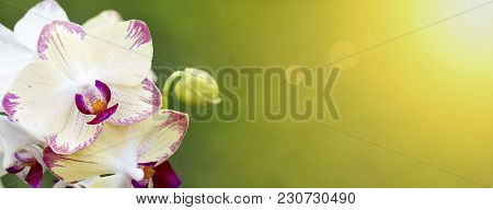 Spring, Springtime Concept - White Orchid Flowers With Blank, Copy Space - Web Banner Or Greeting Ca