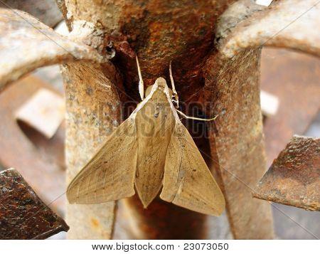 Moth on Rust Iron