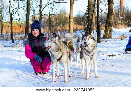 Girl Playing With Sled Dogs Siberian Husky In Snow