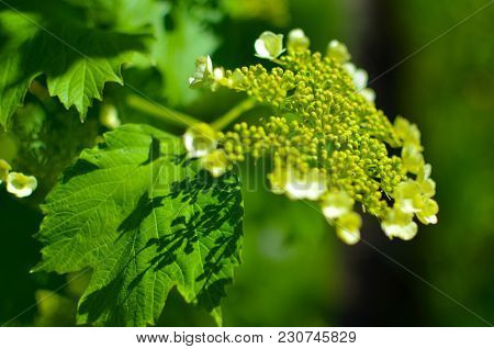 White Flower Of Viburnum Opulus Close-up - Guelder Rose, The Snowball Tree, Supposedly Originated, W