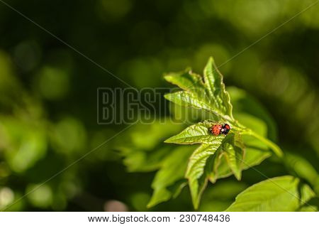 Insects Mating. Ladybug Mating On Green Leaf With Sunshine.
