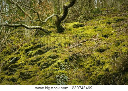 Rural Winter Woodland Displaying Green Moss On Woodland Floor And Trees