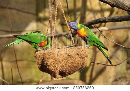 Two Bright Colorful Rainbow Lorikeets On The Feeder