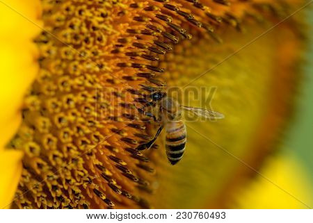 A Honey Bee Quickly Harvesting Pollen From A Large Sunflower In Western Missouri.