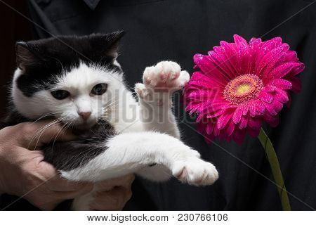 Cute Black And White Cat Touches The Flower With A Paw Sitting On The Hands Of The Mistress