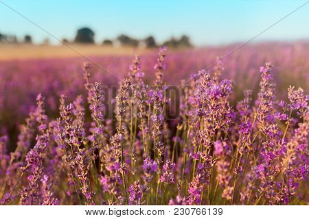 Soft Focus Of Lavender Flowers Under The Sunset Light. Natural Field Closeup Background In Provence,