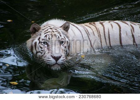 White Bengal Tiger Is Hunting Outdoors. Hungry Predator Hides In The River And Ready To Attack.