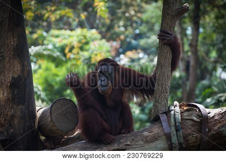 Smiling Orangutan Sits Alone On The Tree. Pensive Primate Looking Away. Funny Monkey On The Nature B