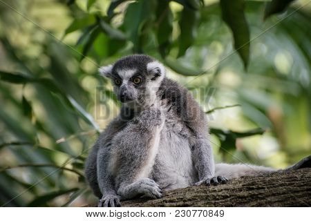 Attentive Catta Sits Alone On The Tree And Saw Something Exciting. Cunning Lemur On The Nature Backg