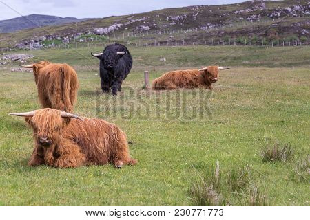 Melvaig, Scotland - June 9, 2012: Three Red And One Black Highland Cattle Lie And Stand On Green Mea