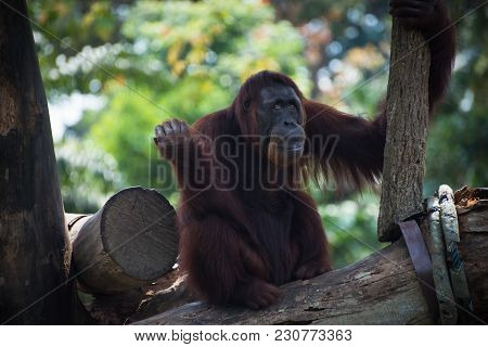 Pensive Primate Looks Up. Smiling Orangutan Sits Alone On The Tree. Funny Monkey On The Nature Backg
