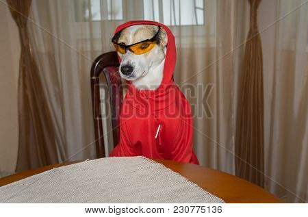 Indoor Portrait Of Self-confident Dog Fit New Garment While Sitting On A Chair At The Table.
