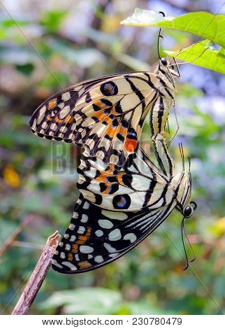 Close Up Of Beautiful Couple Butterfly Mating Or Having Sex