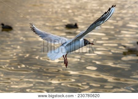 White Seagull Flying Over A Lake, Fly Seagulls