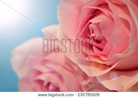 Close Up Of A Beautiful Varietal Pink Rose. Sun Glare Imitation