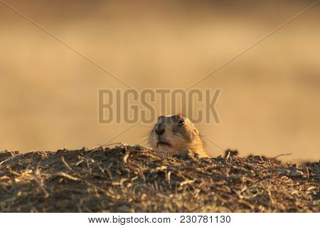 A Black Tailed Prairie Dog Comes Out Of Its Hole To Take A Look Around Before Running Across The Pra
