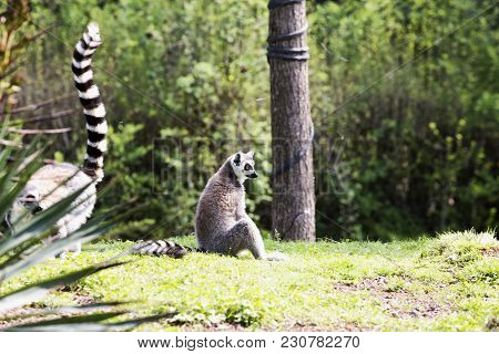 Sitting Lemur In The Woods