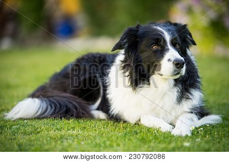 Border Collie Lying Down In The Grass